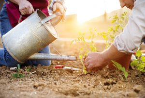 A couple works together to plant tomato plants in a garden