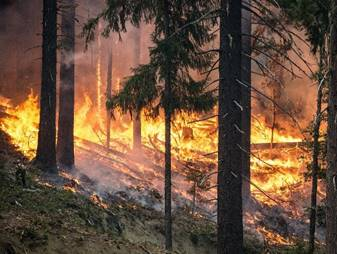 A wildfire burning in a pine forest