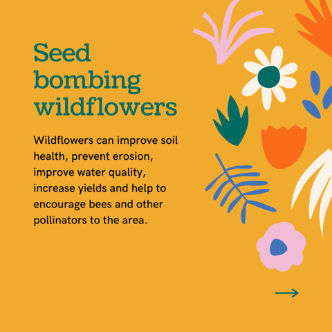 Seed bombing wildflowers can improve soil health, prevent erosion, improve water quality, increase yields and encourage bees/pollinators to the area